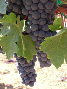Healthy Zinfandel grapes grown in the Russian River Valley